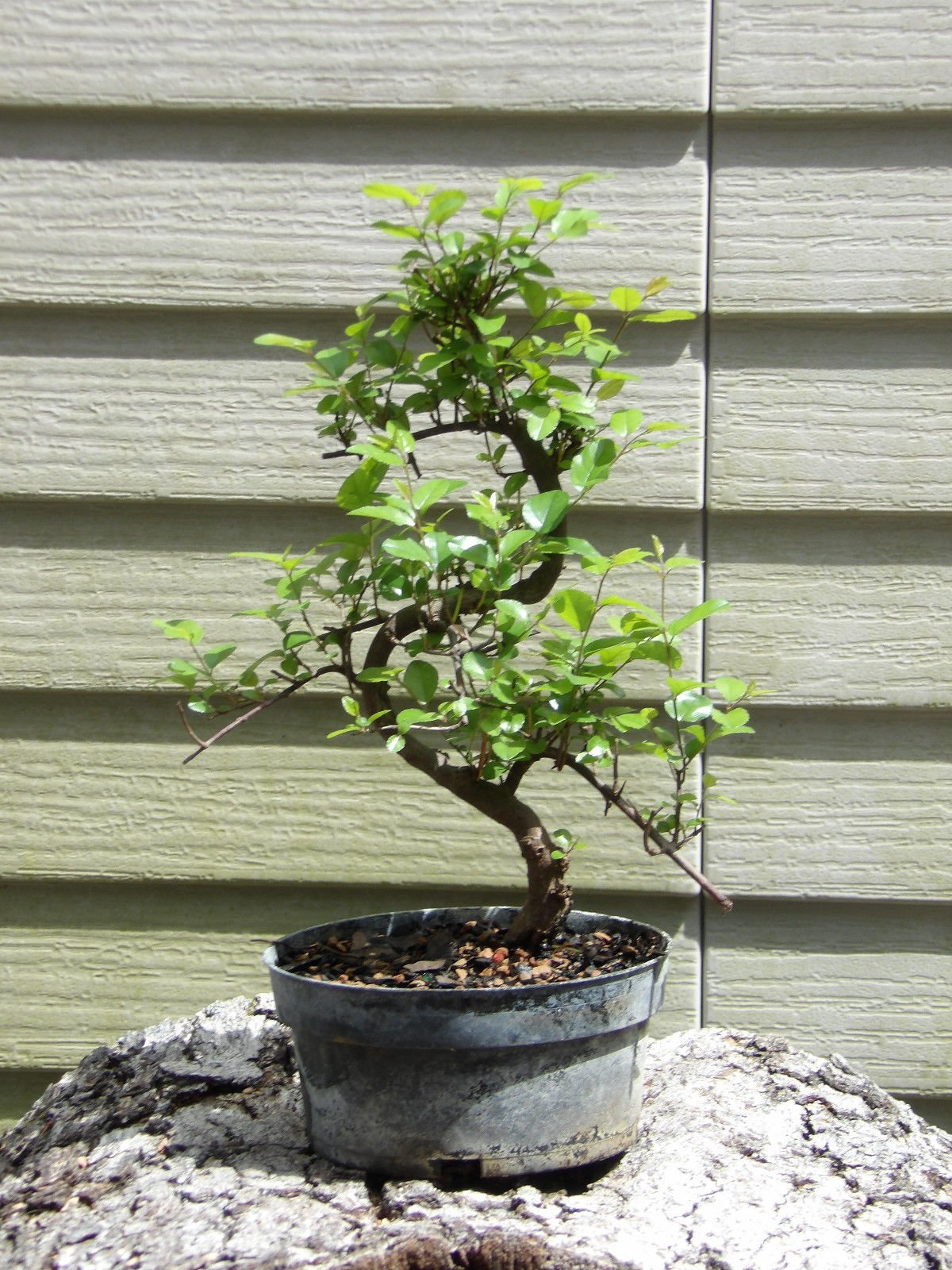 Flowering Sweet Plum Pre Bonsai Tree Flowers GREAT