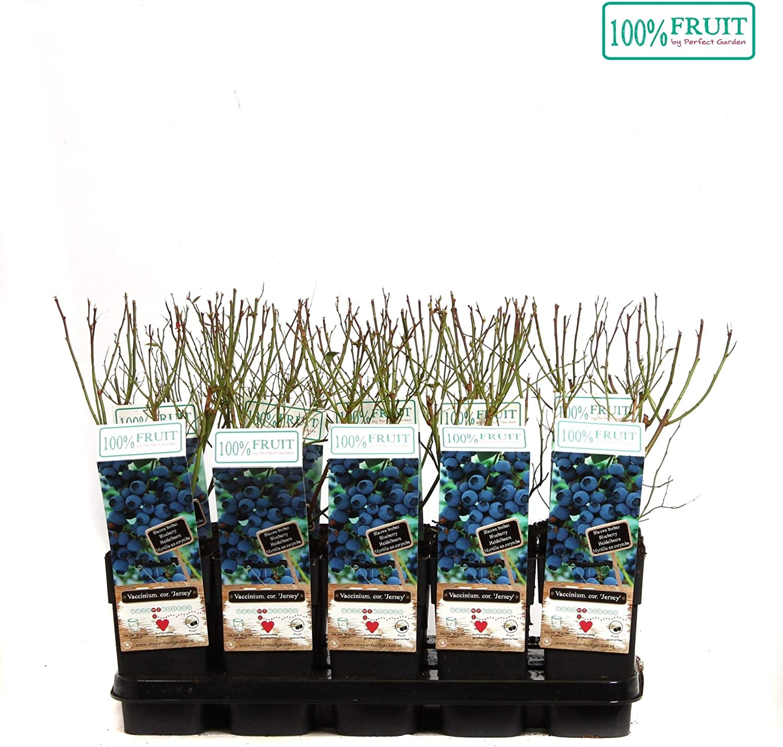 55cm hoch ca kr/äftige Pflanzen Blaubeeren Sorte: Jersey Vaccinium corymbosum im 14cm Topf winterharte Heidelbeere Pflanze,