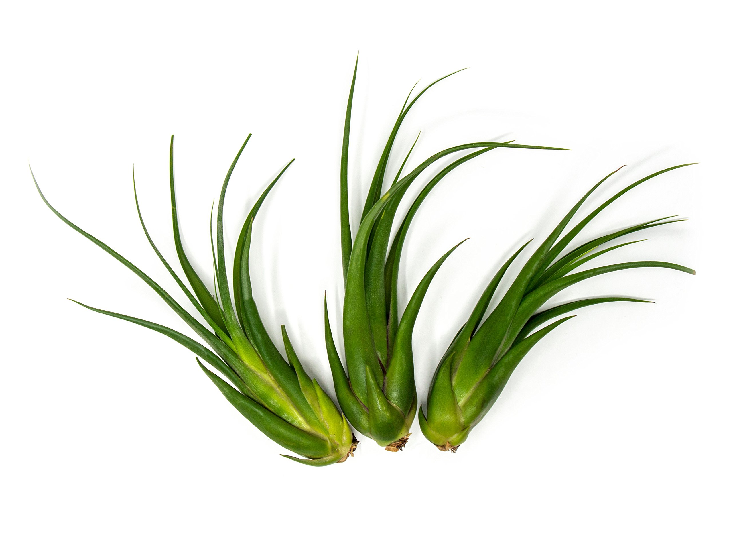 12 GIANT Circinata Air Plants - 7 to 9 inch Tillandsia - Live House Plants for Sale - Indoor Terrarium Air Plants by Plants for Pets