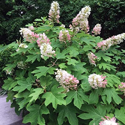 50 Seeds Hydrangea Quercifolia Oakleaf Hydrangea Shrub Garden tkgre : Garden & Outdoor