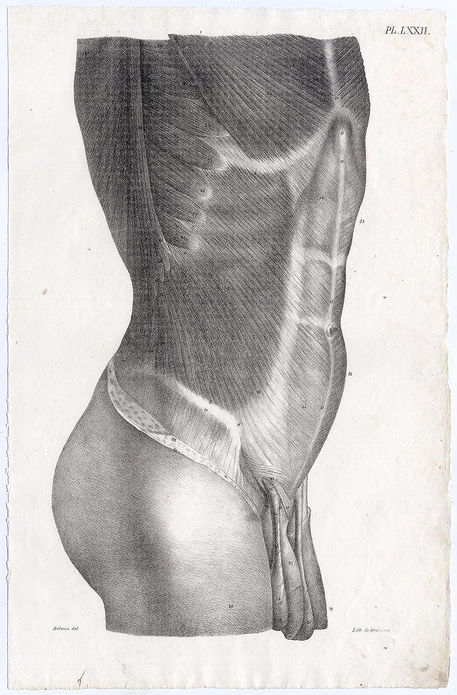 Amazon Antique Print Human Anatomy Torso Male Stomach Muscles
