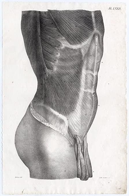 Amazon Antique Print Human Anatomy Torso Male Stomach Muscles