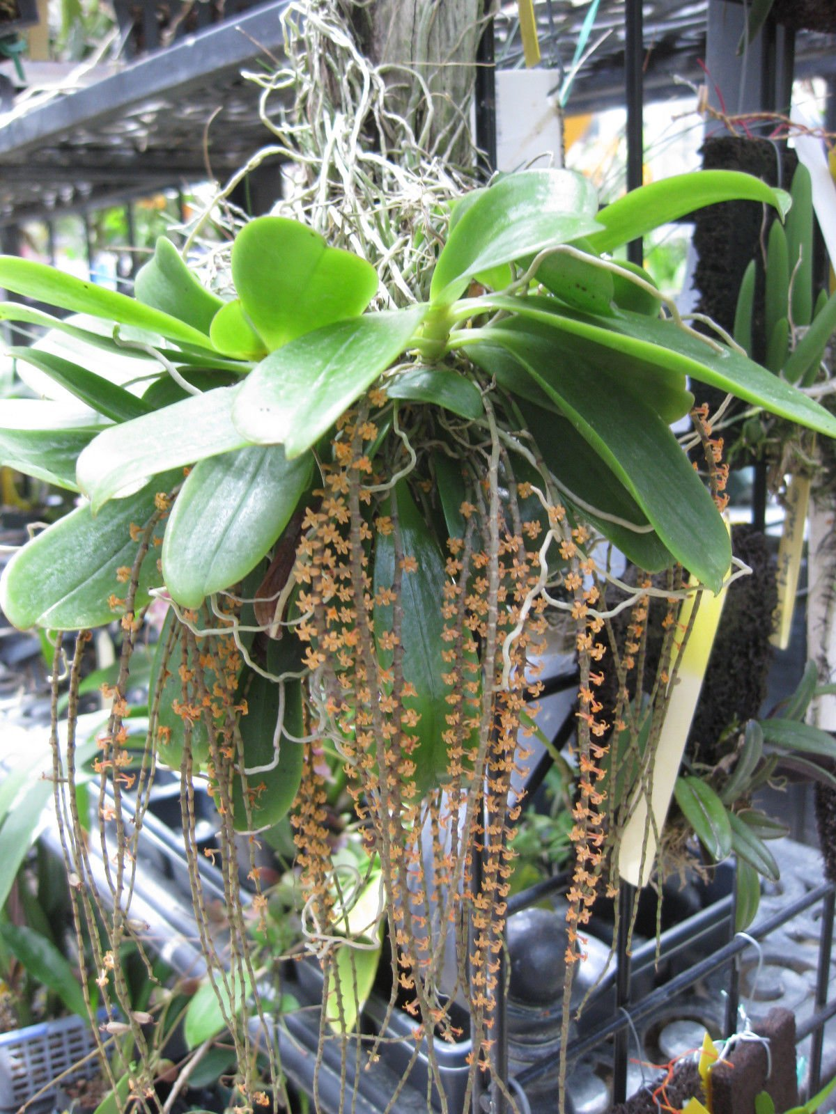 Chamaengis hariotiana! Minature African Species! MUST HAVE! Collectors item Orchid Plant