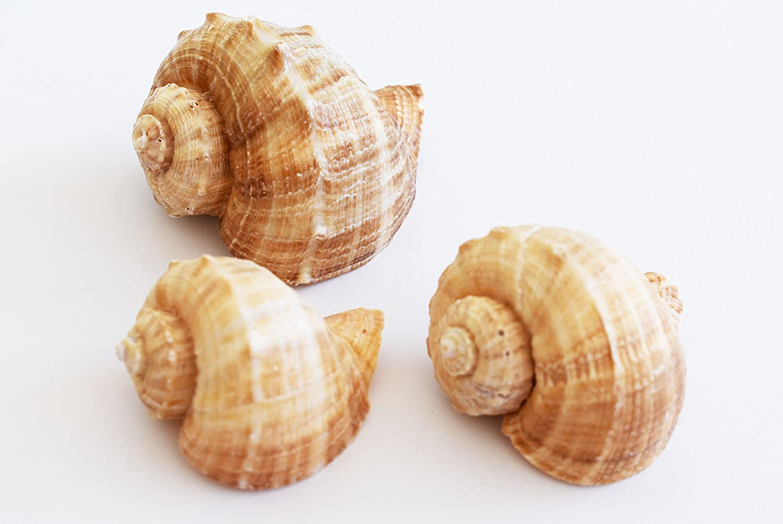 Florida Shells and Gifts Inc. 3 Large Rapana Whelk Shells Seashells 2- 3 Sea Shell Hermit Crab Beach Nautical