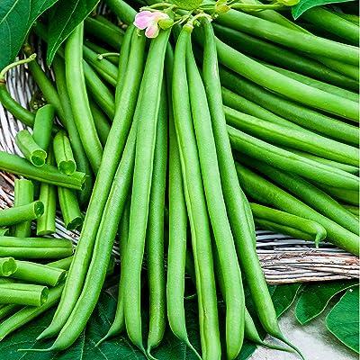 Earth Seeds Co 100 Pcs Dwarf Bean Organic Vegetable Seeds, Good Disease Resistance, Early Maturing Ideal for Garden : Garden & Outdoor