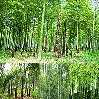 Verlike - 100 semi di bambù Moso colorato nero / viola / verde, bambù gigante da giardino