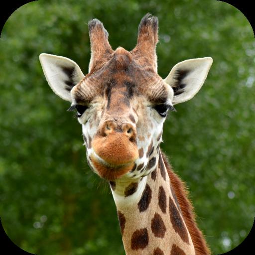 Giraffe Goofy - Giraffe Wallpaper