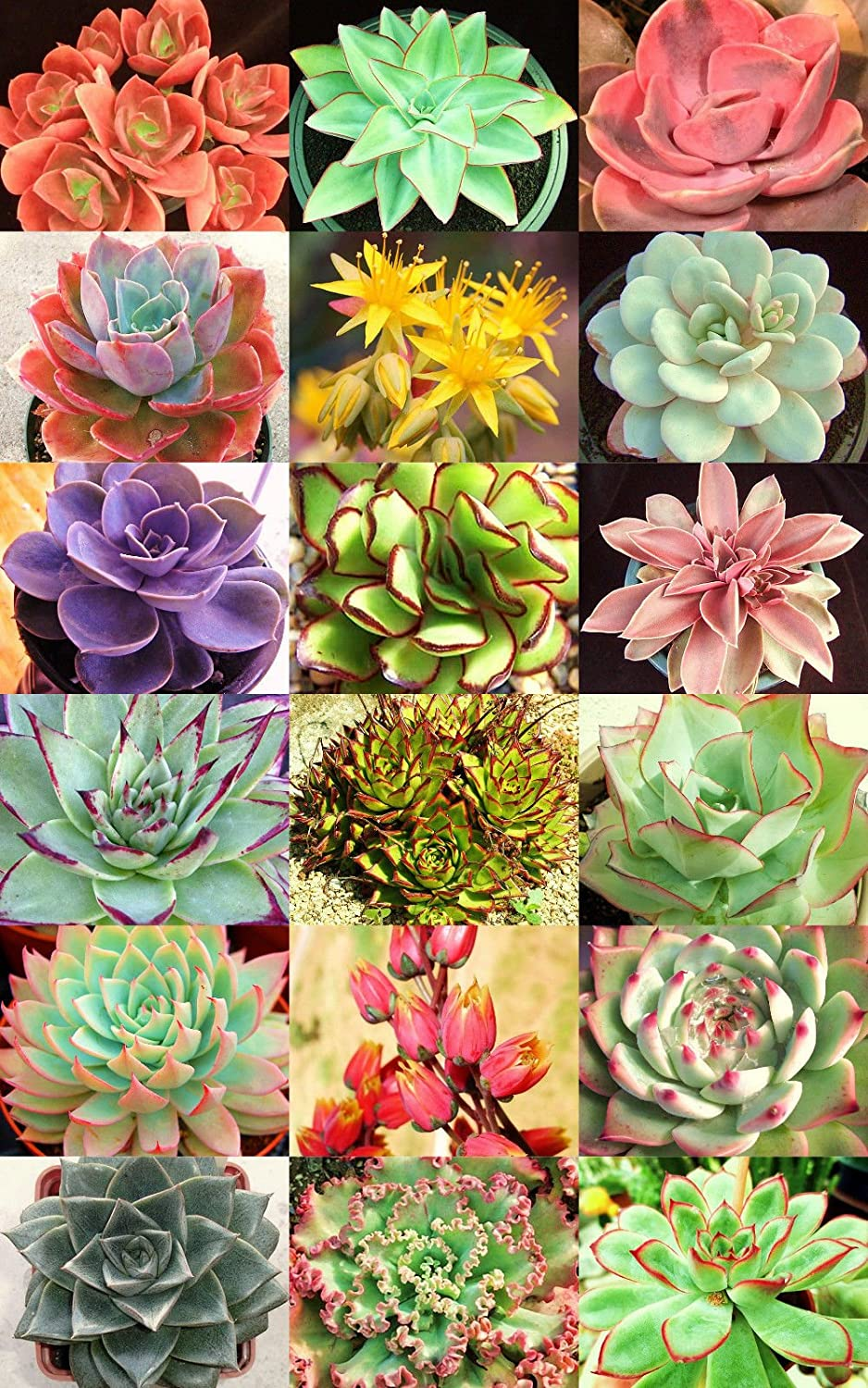 Amazon Echeveria Variety Mix Sold By Exotic Cactus Exotic