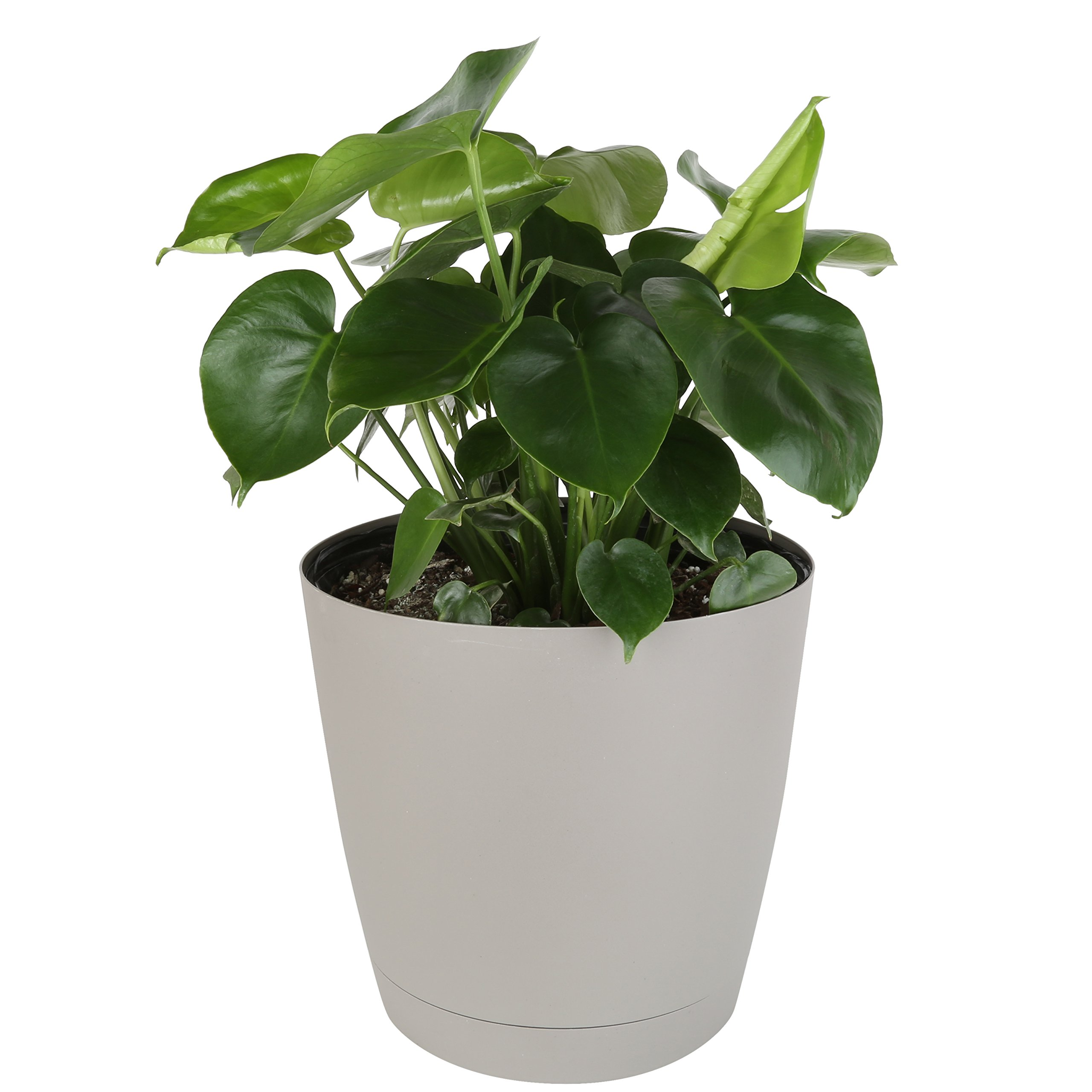 Costa Farms, Premium Live Indoor Split-Leaf Philodendron, Monsteradeliciosa, Floor Plant, 10-inch Gray-Taupe Decorator Pot, Shipped Fresh from Our Farm, Excellent Gift