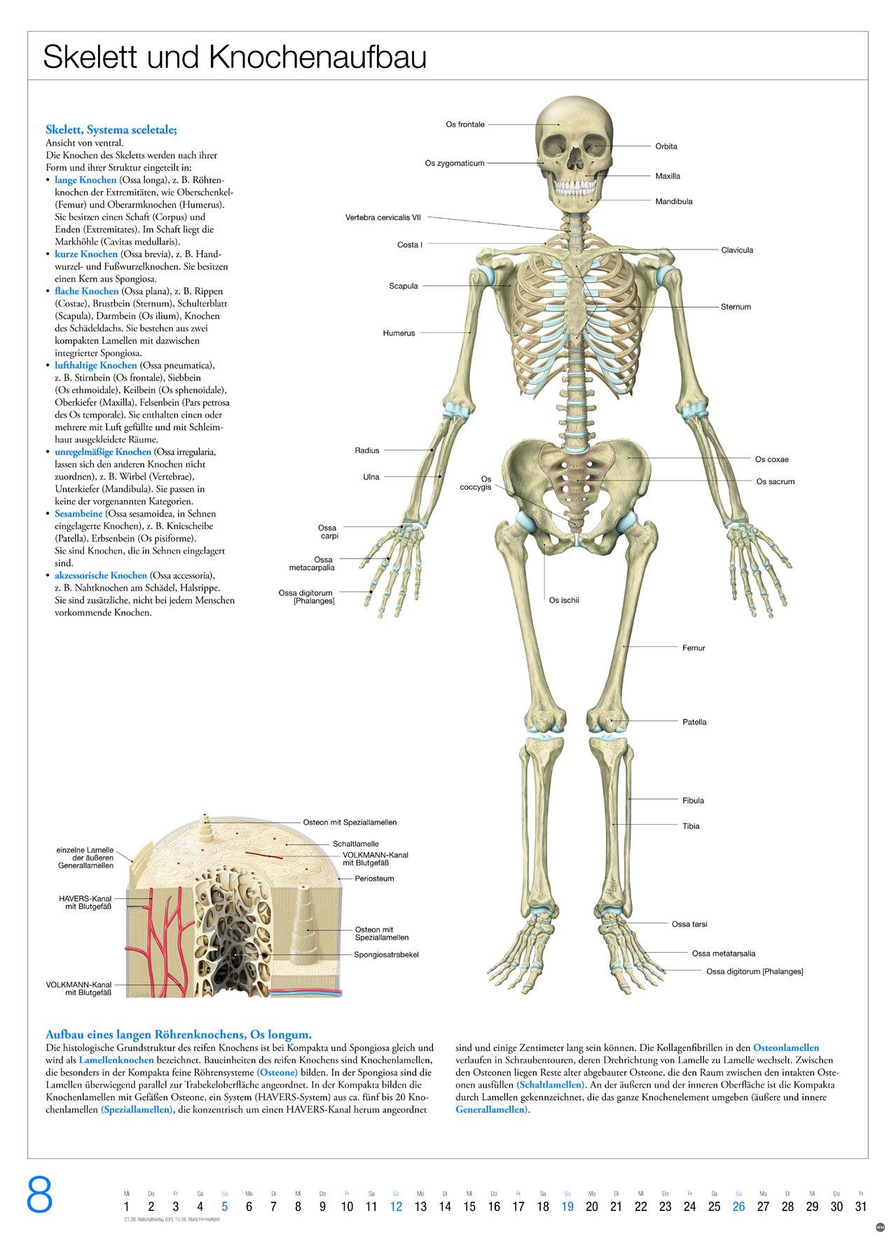 Schön Lamellen Knochen Galerie - Menschliche Anatomie Bilder ...