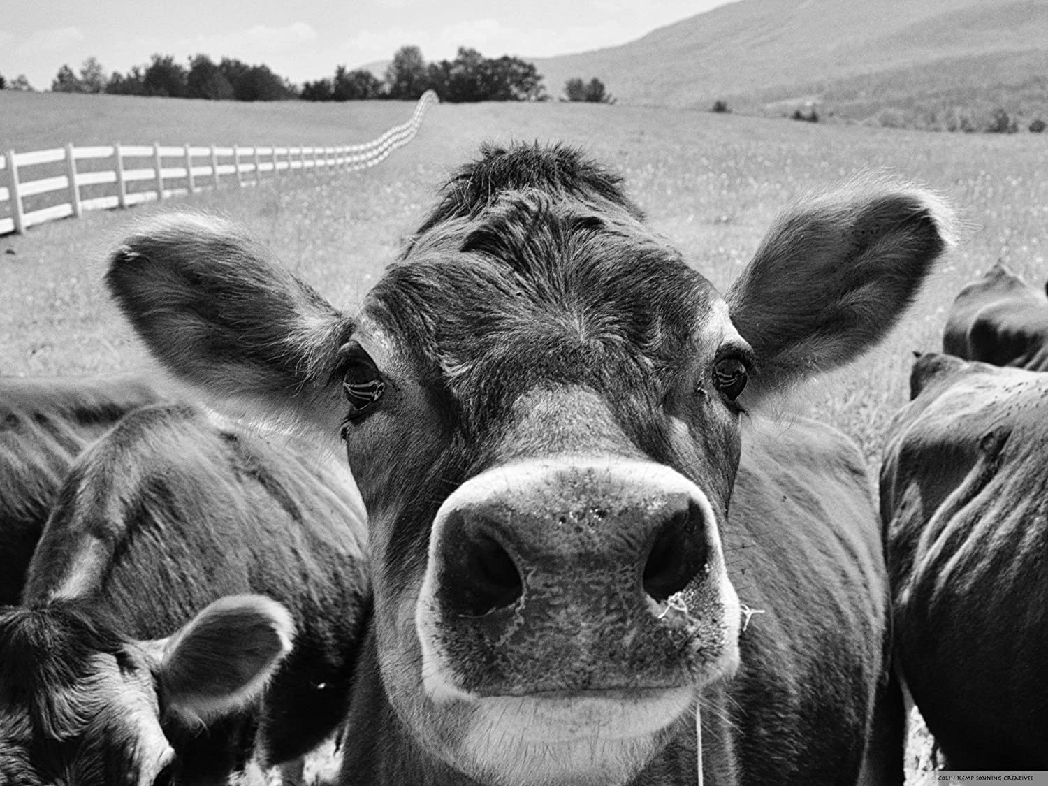Amazon com cow close up black and white photographic print jersey
