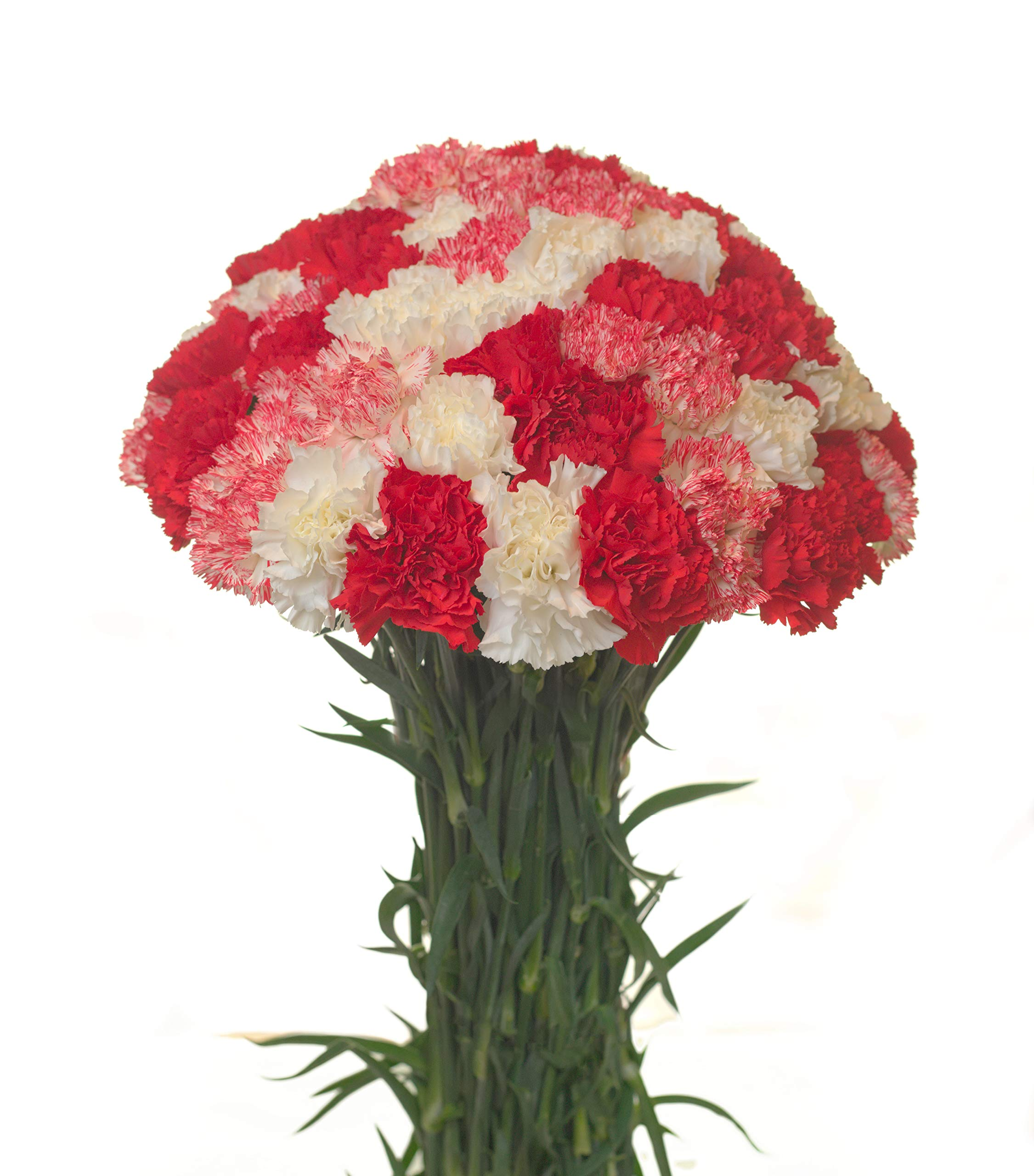Carnations Special Holidays Pack (150, Christmas) by Flower Prime