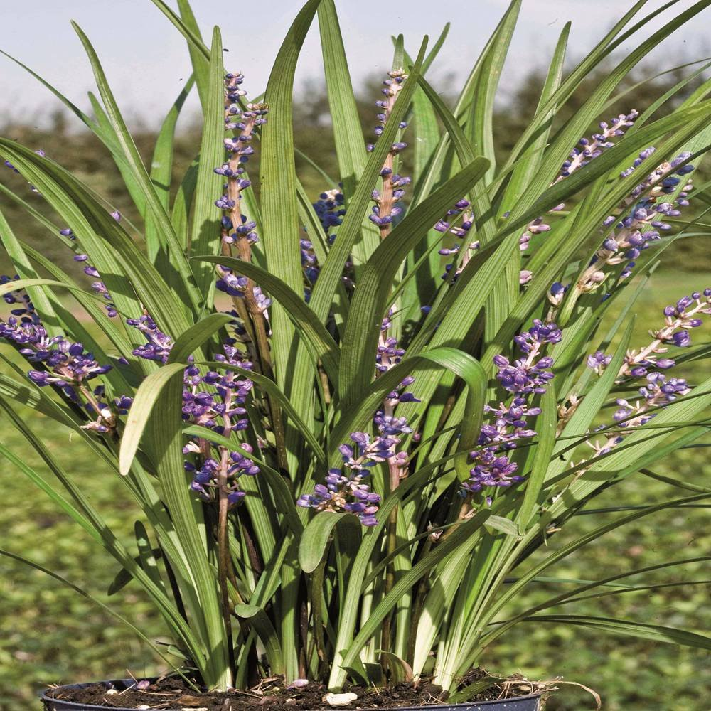 Liriope muscari Big Blue - 1 plant Gardens4you