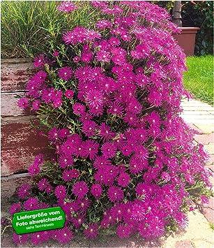 Baldur Garten Delospermacooperi 3 Pflanzen Winterhart Eisblumen