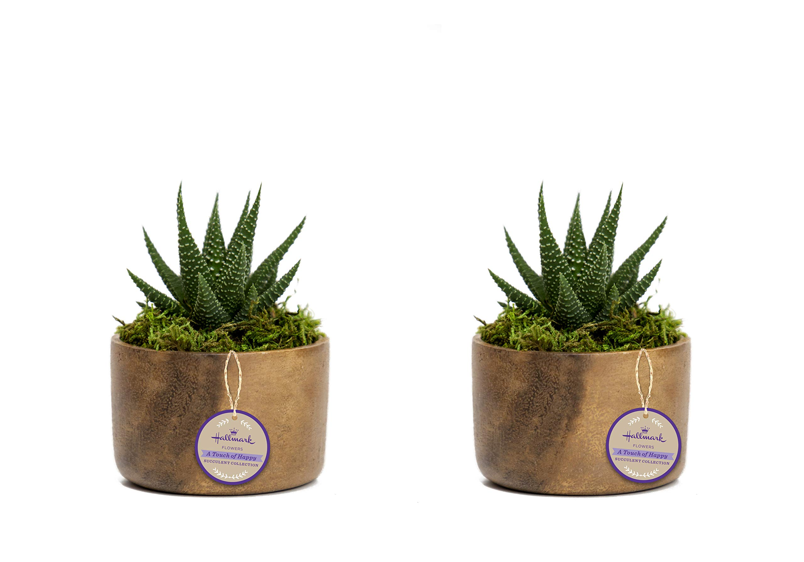 Live Succulents in Wooden Luxe Containers (Set of 2), From Hallmark Flowers by Hallmark Flowers