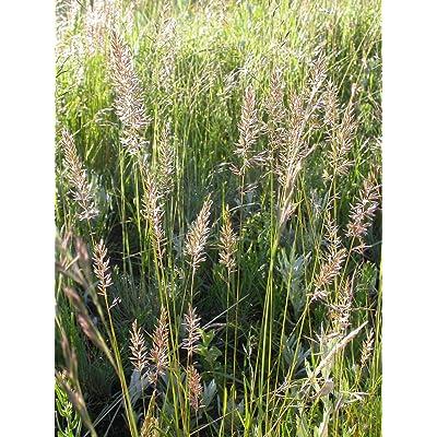 1 oz Seeds (Approx 144688 Seeds) of Koeleria macrantha, Junegrass : Garden & Outdoor