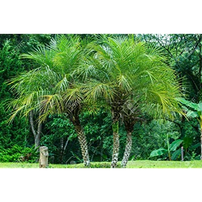 "Phoenix Roebelenii/Pigmy Date Palm 3 Gal/10""Pot Palm Tree Live Tropical Rare : Garden & Outdoor"