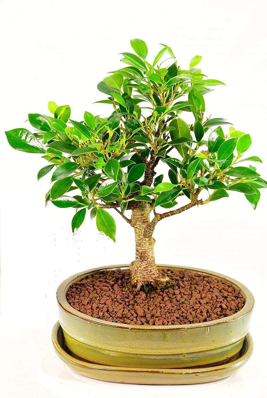 Greenhomecare Bonsai Ficus Retusa I Shape With Pot Amazon In Garden Outdoors