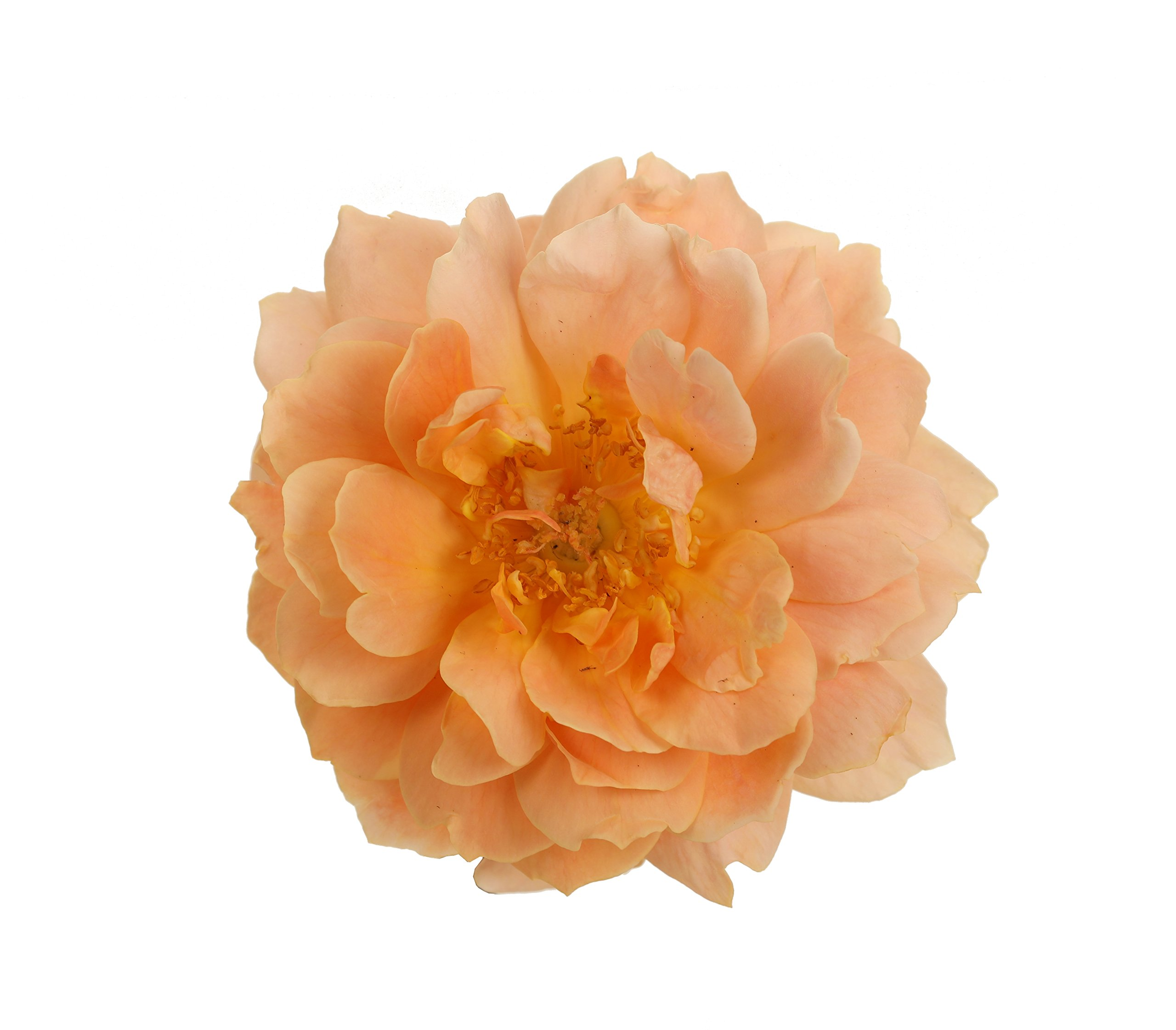 At Last Rose (Rosa) Live Shrub, Orange Flowers, 4.5 in. Quart by Proven Winners (Image #4)