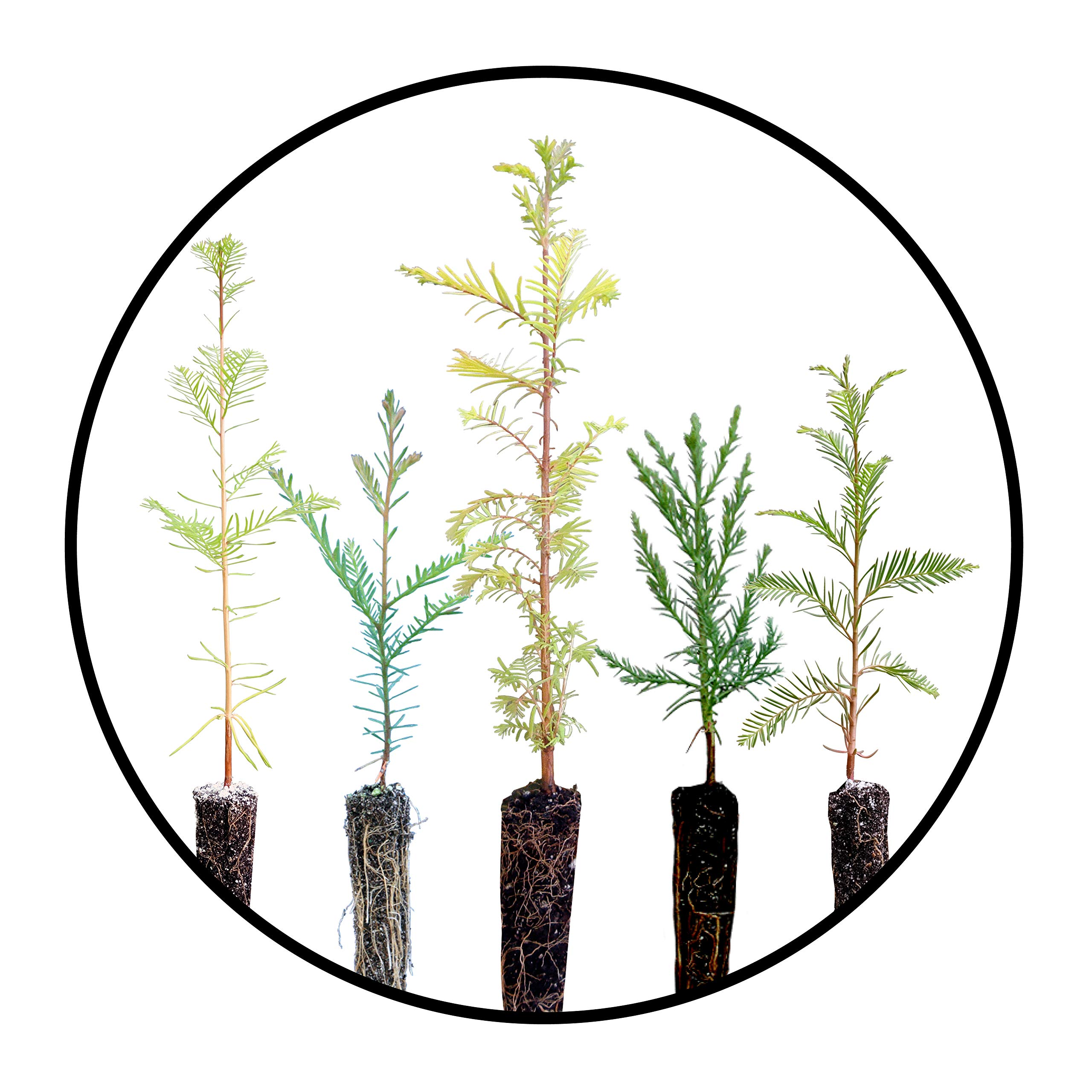 Redwoods of The World | Collection of 5 Live Tree Seedlings | The Jonsteen Company