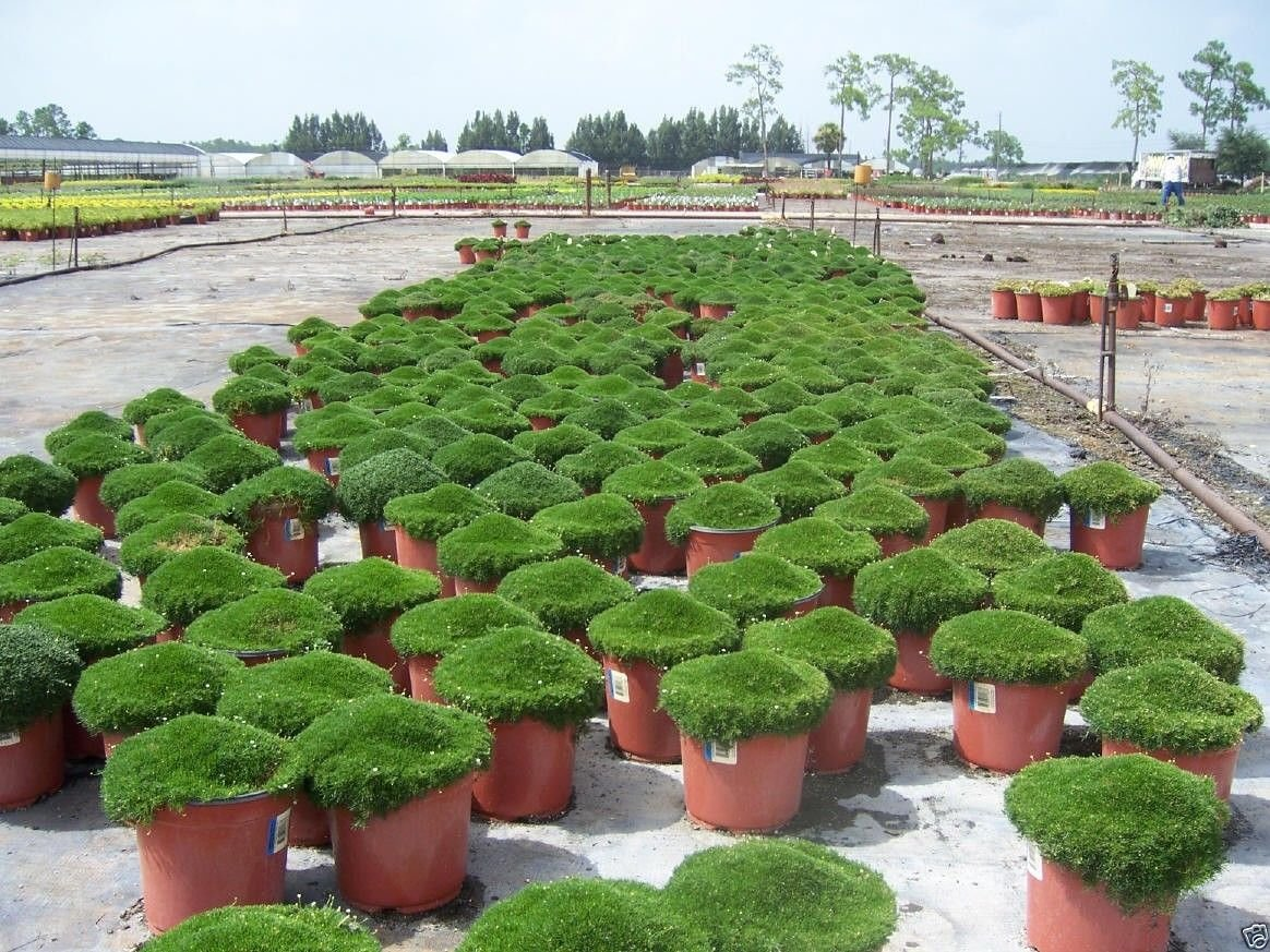 How to grow irish moss ground cover - Amazon Com 500 Irish Moss Seeds Sagina Subulata Great For Ground Cover Or Containers Patio Lawn Garden