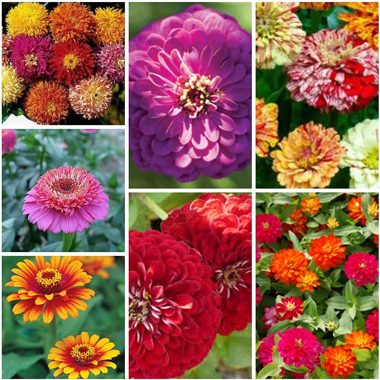 Amazon Com Majestic Mixed Zinnia Seeds 7 Types 100 Seeds Garden Outdoor