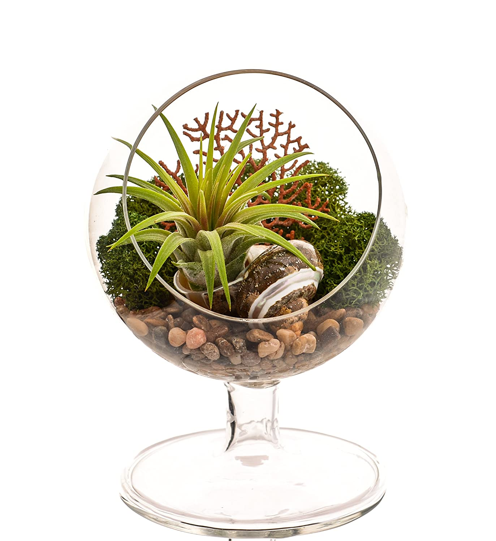 Amazoncom Bliss Gardens Air Plant Terrarium 4 Round Glass Pedestal