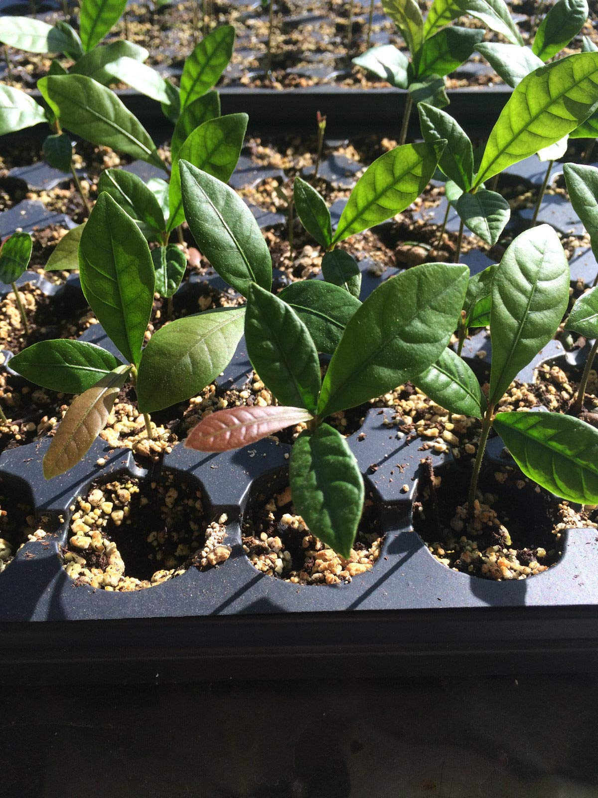4 Miracle Fruit/Berry Plants Synsepalum dulcificum by Miracle Fruit (Image #2)