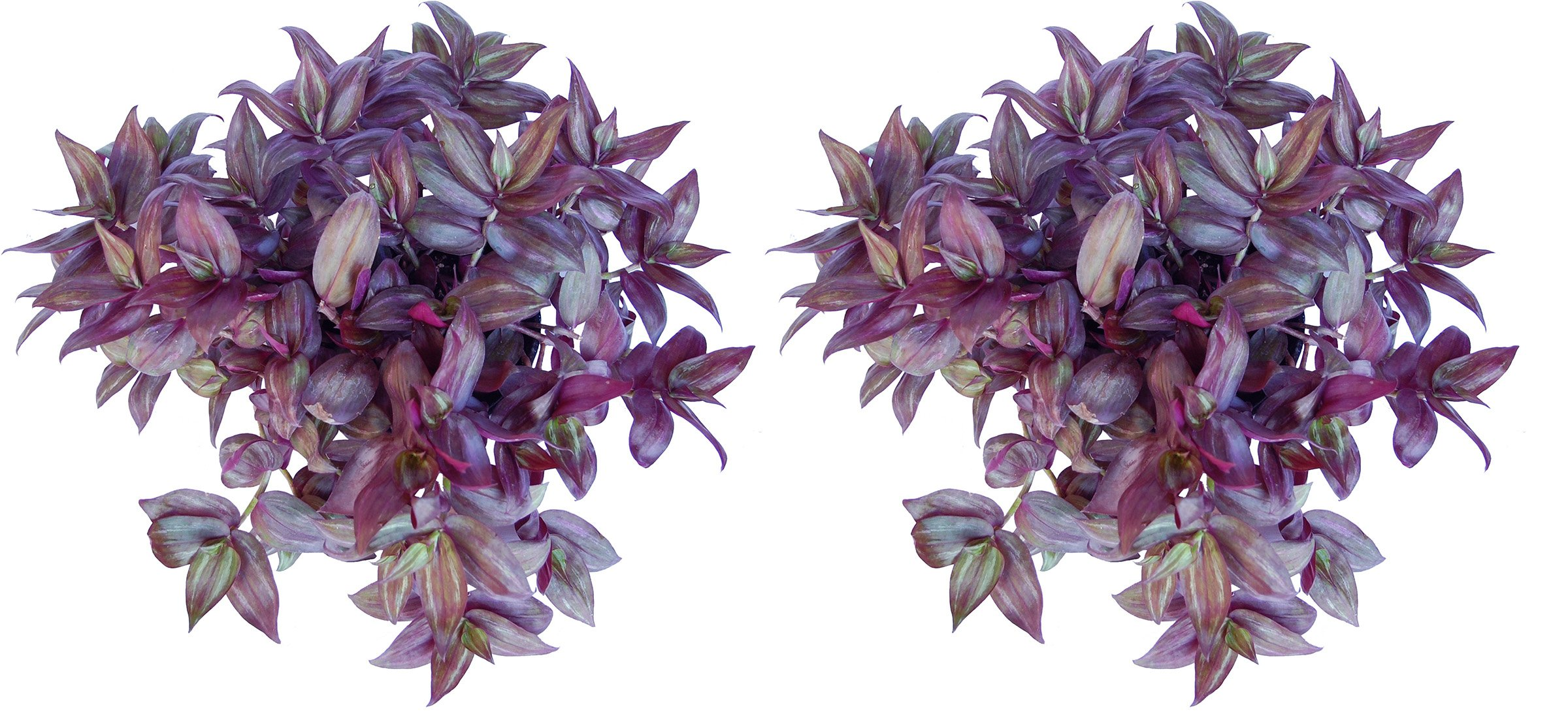 Red Wandering Jew 6'' pot - Combo Deal of Two Plants
