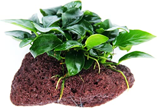 Greenpro-Live-Aquarium-Plants-on-Driftwood-to-Reduce-Nitrates