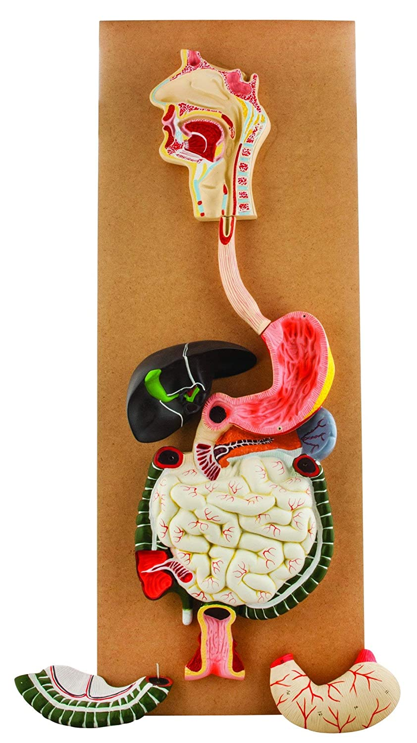Eisco Labs Human Life size model Stomach