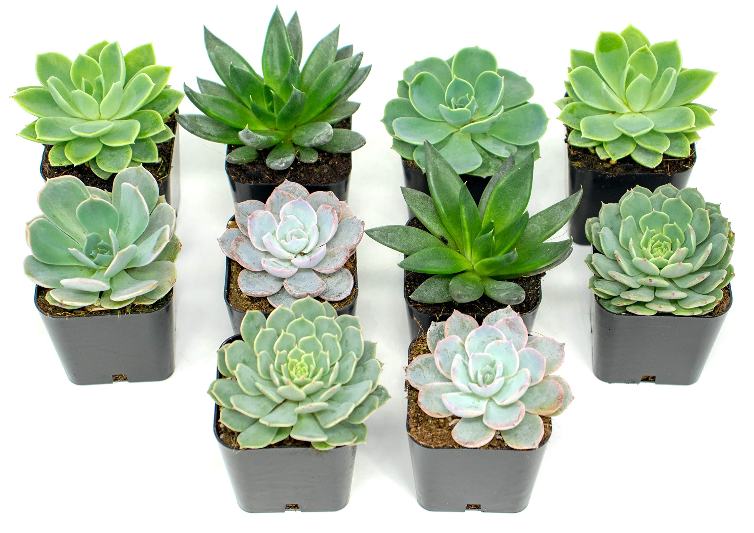 Succulent Plants | 10 Echeveria Succulents | Rooted in Planter Pots with Soil | Real Live Indoor Plants | Gifts or Room Decor by Plants for Pets