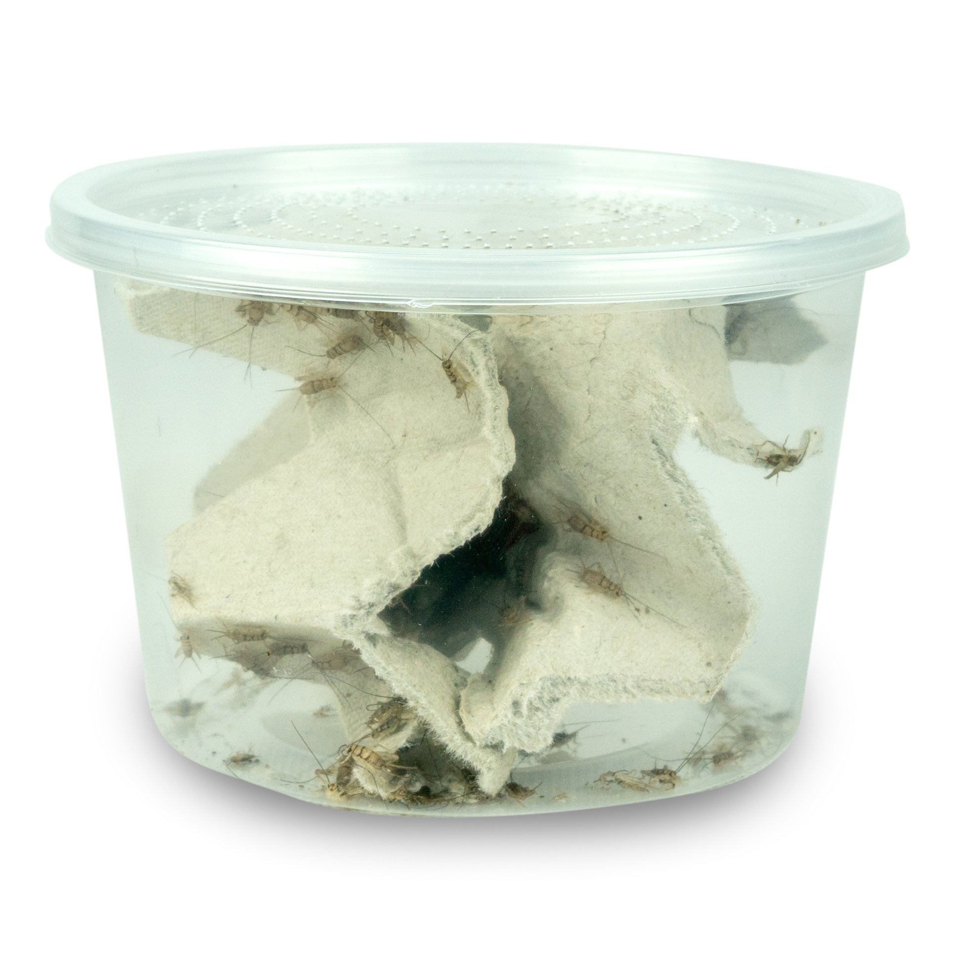 Josh's Frogs 1/4 Banded Crickets (120 Count)