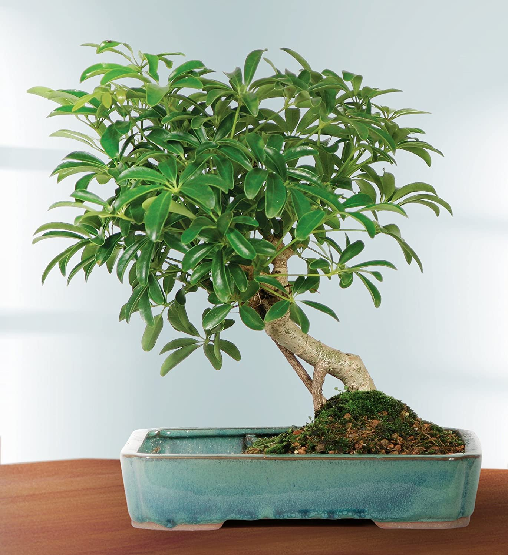 Brussel's Live Hawaiian Umbrella Indoor Bonsai Tree in Water Pot - 5 Years  Old