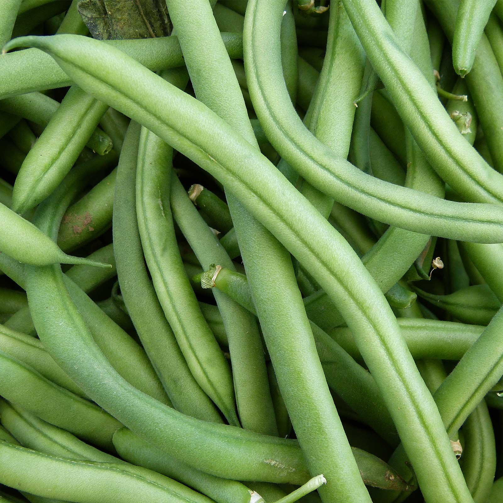 Blue Lake FM1K Pole Bean Seeds (Treated) - 25 Lb Bulk - Non-GMO, Heirloom - Green Bean Vegetable Garden Seeds - Phaseolus vulgaris