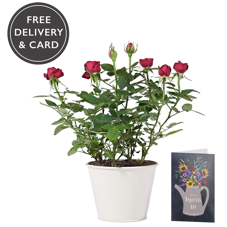 Red Potted Rose Plant Delivered Free Uk Delivery Pot