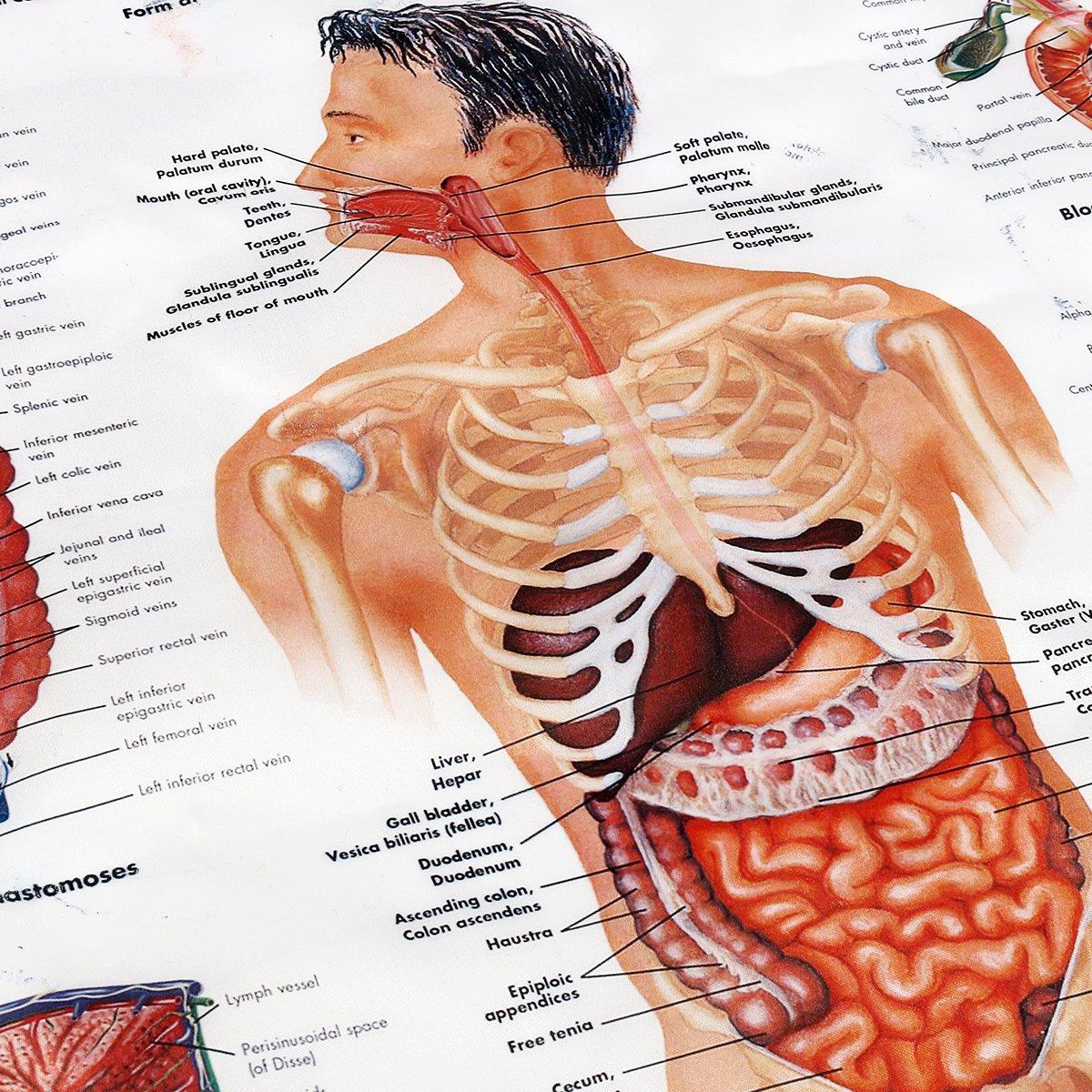 faway Magen-Unterricht menschliche Anatomie Poster, 60 x 80 cm ...