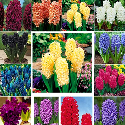 Kisshes Seedhouse - Semillas de jacinthes de mezcla Hyacinthus con ...