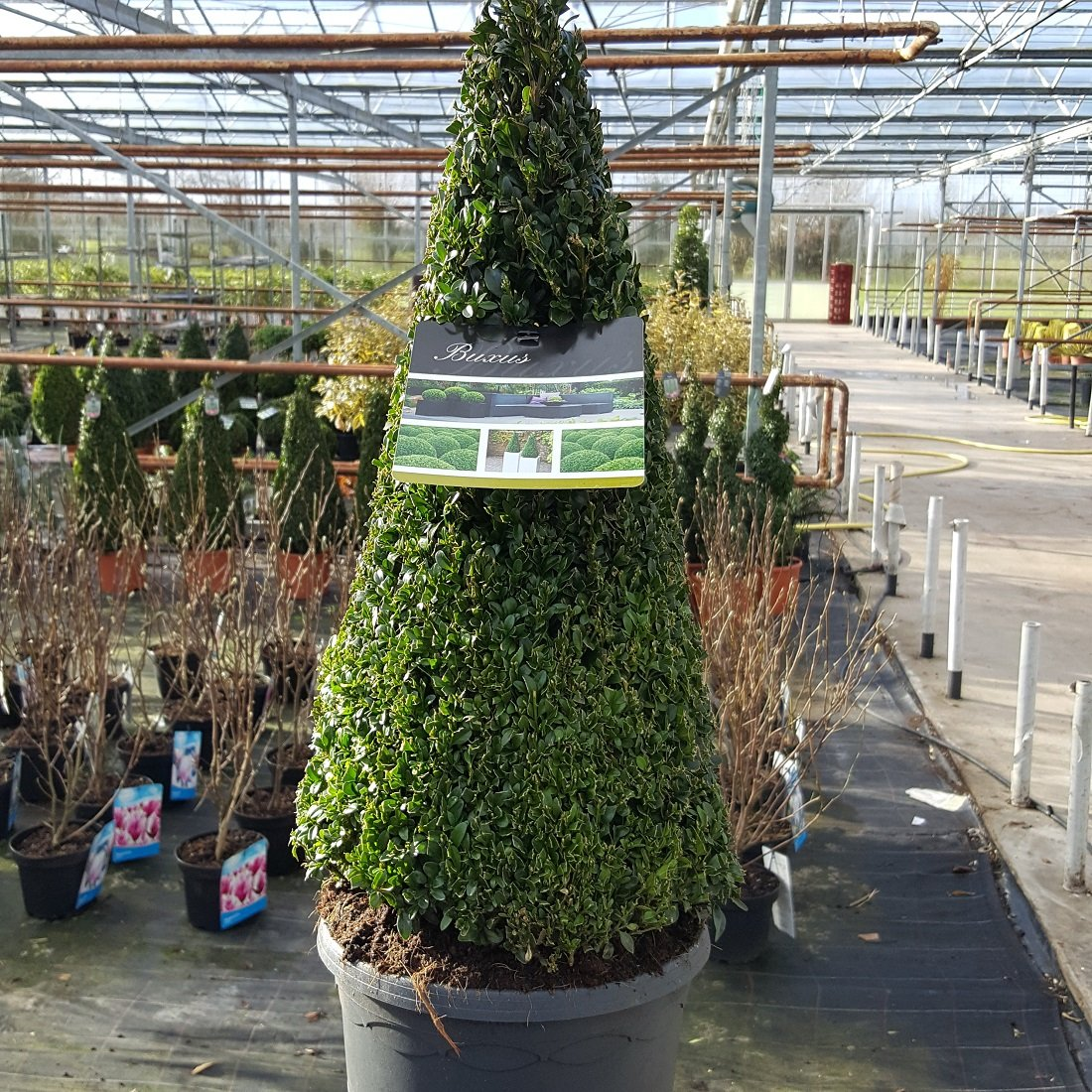 Buxus sempervirens Pyramid Shape Box Plant Approx 65cm Tall- Top Quality- GREAT VALUE Olive Grove