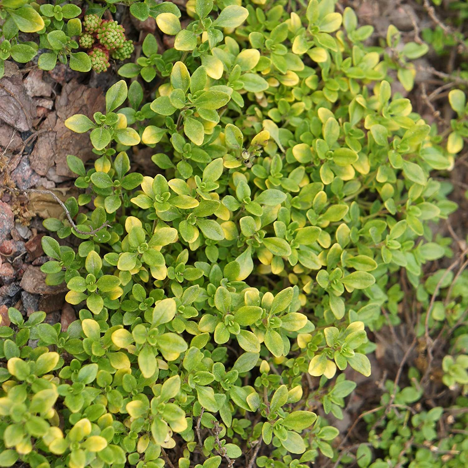 Garden Thyme 250 mg ~1,000 Seeds - Non-GMO, Open Pollinated, Heirloom - Culinary Herb Gardening Seeds