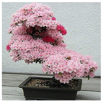 Amazon.com: 10 semillas sakura semillas bonsái flor cerezo ...