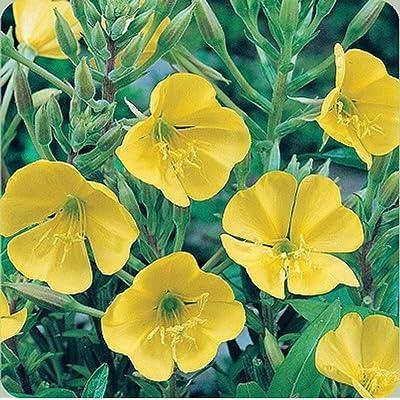 AchmadAnam - Seeds - Evening Primrose Flower Seeds - Bulk : Garden & Outdoor
