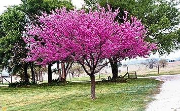 Amazon eastern redbud tree bright pink flowers garden eastern redbud tree bright pink flowers mightylinksfo
