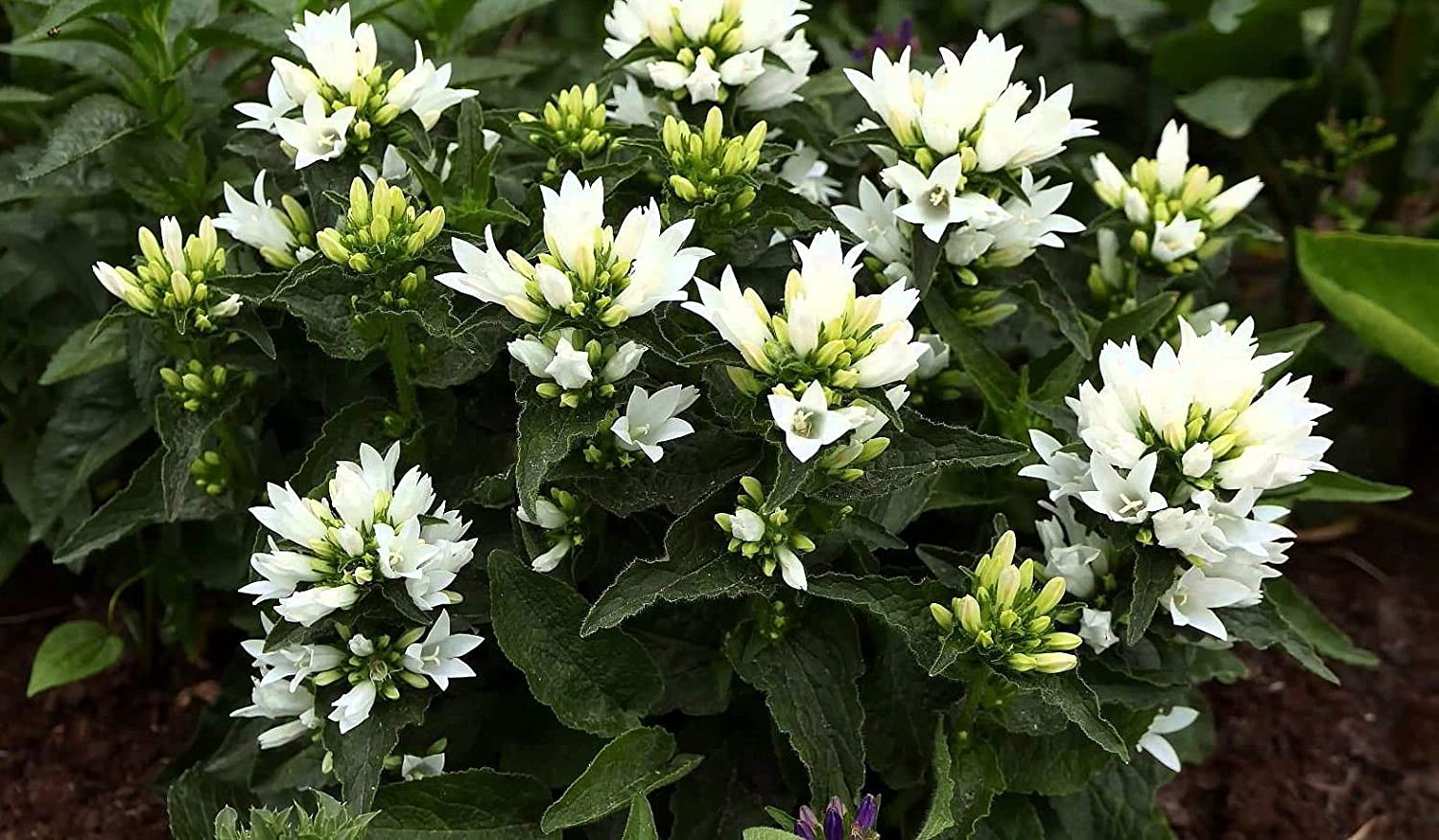 Amazon Genti White Clustered Bellflower Campanula 4 Pot