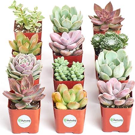 Amazon Com Shop Succulents Premium Pastel Collection Of Live