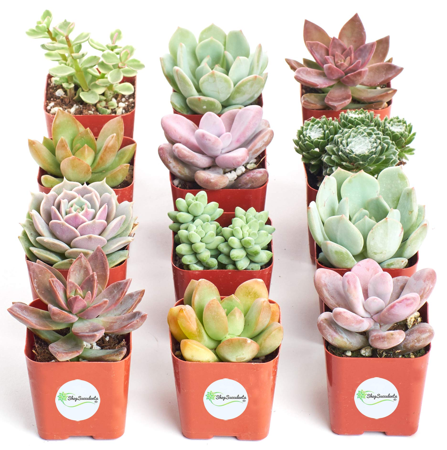 Shop Succulents| Premium Pastel Collection of LiveSucculent Plants, Hand Selected Variety Pack of Mini Succulents | Collection of 12 in 2'' pots