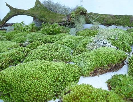 Amazon Com 1 Gallon Bag Star Moss Terrarium Gecko Fairy Garden Dart