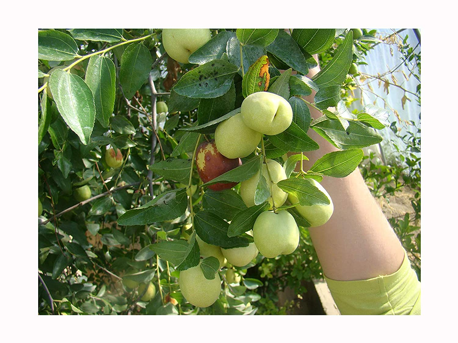 30pcs Figs Seeds Edible Fruit Tree Seeds Rare Red Figs Seeds Delicious Fruit Pro
