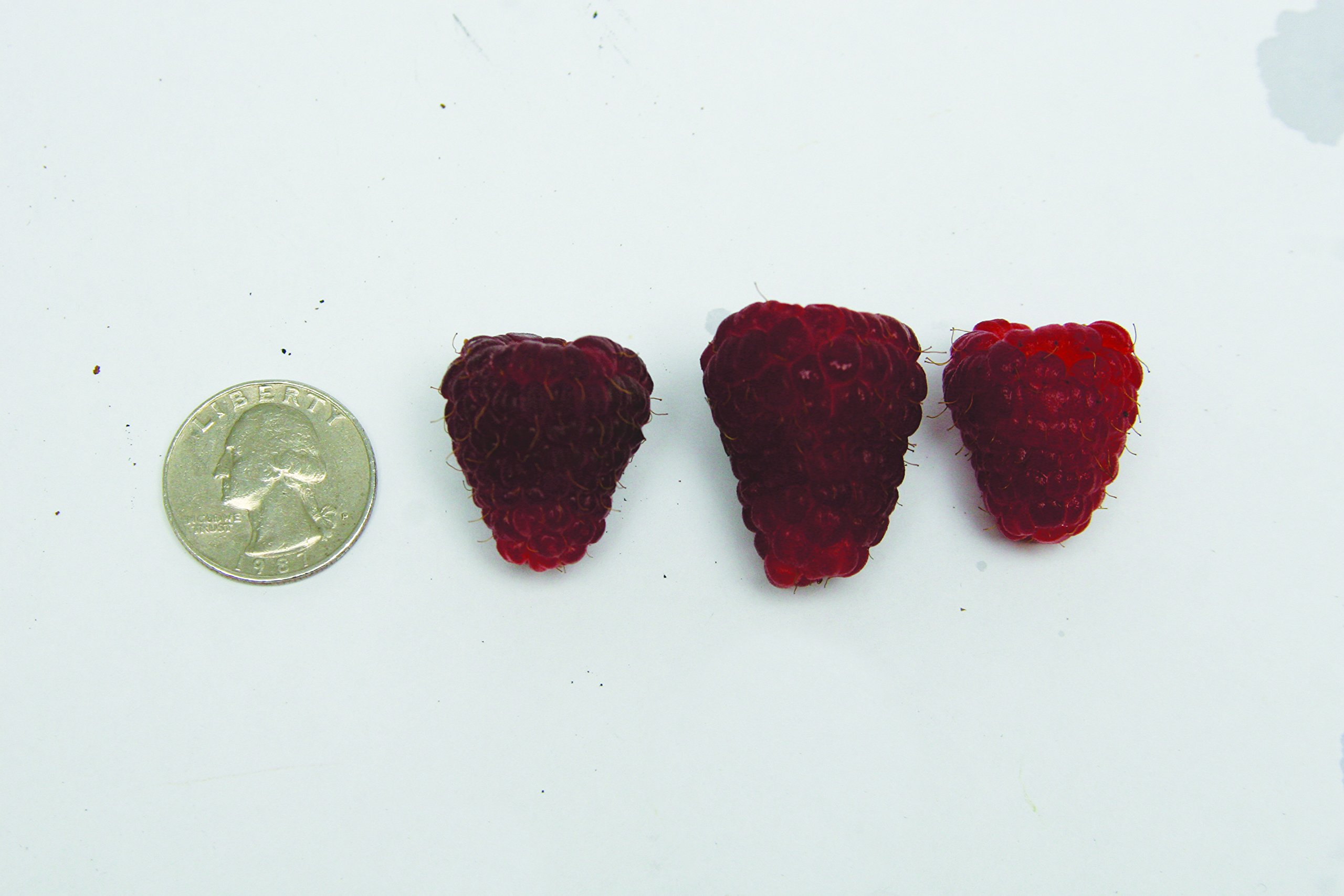 Burpee Thornless Fall Fruiting Raspberry 'Joan J' shipped as 5 BARE ROOT PLANTS by Burpee (Image #3)