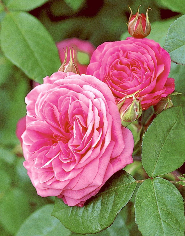 R- Gertrude Jekyll Englische Stamm-Rose im Container